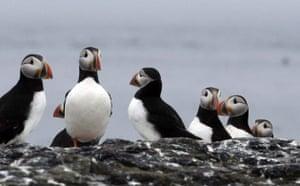 Week in Wildlife: Farne Island Puffins