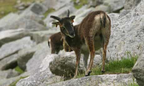 Soay sheep, a primitive and unusual breed that has lived in St Kilda