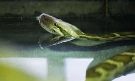 Burmese Python (Python molurus bivittatus)
