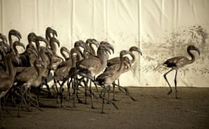 Ringed flamingo chicks: Flamingo chick at the Fuente de Piedra natural reserve in Spain