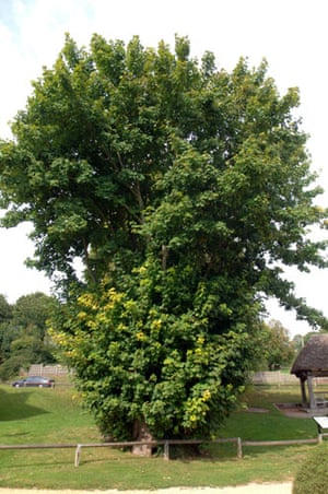 Ancient trees: Tolpuddle Martyrs Tree in Tolpuddle Dorset