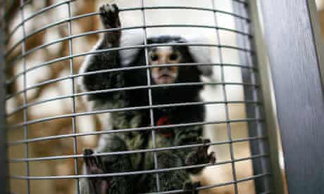 A Marmoset monkey used in animal research climbs up the bars of its cage at a testing centre