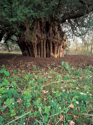 Ancient trees: Ankerwycke yew at Runnymeade