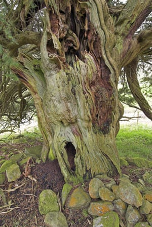 Ancient trees: Borrowdale yews