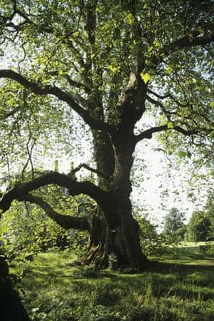 Ancient trees: Plane Tree at Mottisfont