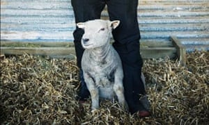 Baby doll sheep or mini sheep used on vineyards in New Zealand