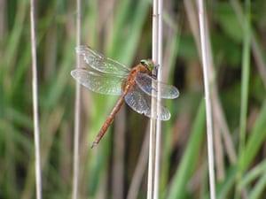 Dragonflies at Wicken Fen: Norfolk Hawker dragonfly at the National Trust's Wicken Fen Cambridgeshire