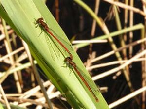 Dragonflies at Wicken Fen: Large Red Damselflies at the National Trust's Wicken Fen in Cambridgeshire