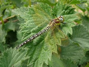 Dragonflies at Wicken Fen: Hairy Dragonfly at the National Trust's Wicken Fen in Cambridgeshire