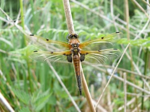 Dragonflies at Wicken Fen: Four-spotted Chaser at the National Trust's Wicken Fen in Cambridgeshire