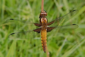 Dragonflies at Wicken Fen: Broad Bodied Chaser at the National Trust's Wicken Fen in Cambridgeshire