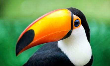 Toucan's bill
