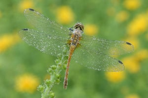 Wicken Fen Dragonflies: The Ruddy Sympetrum Dragonfly has a wingspan of up to 6 cm