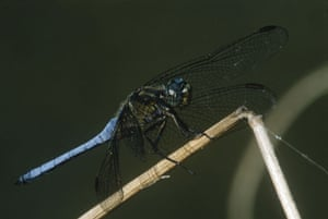 Wicken Fen Dragonflies: Black-tailed Skimmer Dragonfly is found near open water along the shore