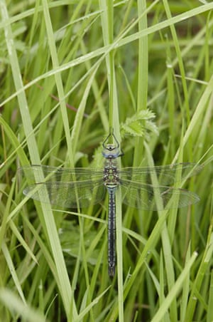 Wicken Fen Dragonflies: Emperor Dragonfly large and powerful species of European hawker dragonfly