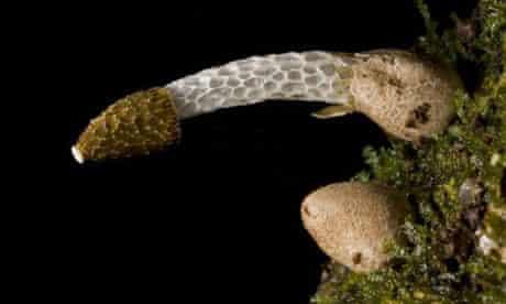 stinkhorn mushroom, Phallus drewesii, named after Robert Drewes