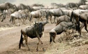 Satellite eye on Earth: Wildebeests prepare to cross the Mara river, Masaai Mara game reserve Kenya