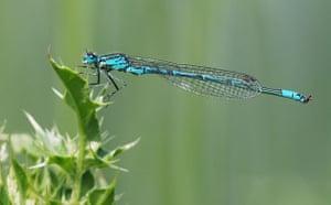 Satellite eye on Earth: Mature azure damselflies (dragonfly)