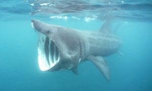 heatwave prompts surge in massive basking sharks off british shores