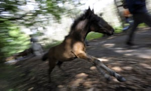 Sabucedo horses: A foal runs as villagers try to round up wild horses in Sabucedo