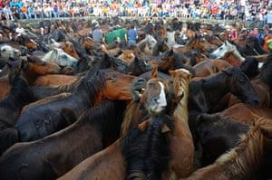 Sabucedo horses: A wild horse bites another horse during the Rapa Das Bestas festival