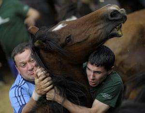 Sabucedo horses: Two Aloitadores (fighters) struggle with a wild horse