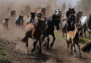 Sabucedo horses: Wild horses are led down the mountain at the Rapa Das Bestas festival