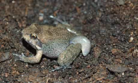 Critically endangered mountain chicken frog