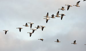 Leo Blog: Snow geese flying in formation