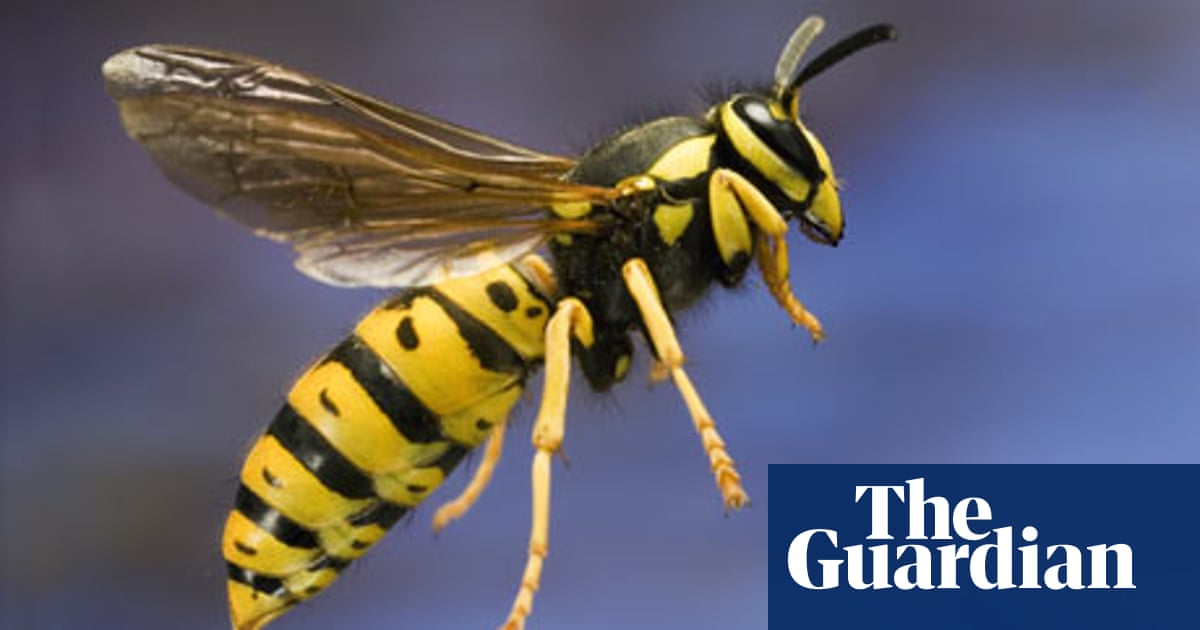 Notes & queries: Why do wasps sting people? | Life and style