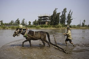 Nile Delta: Abdul Fattah ploughs his field in Kafr El Sheikh before planting rice