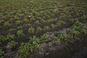 Nile Delta: Salt encrusted soil on a potato plantation near to el-haddadi village.