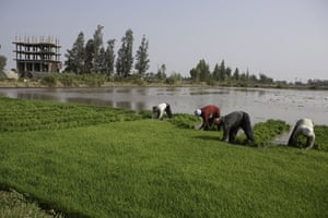 Nile Delta: Labourers harvest rice from a paddy filed in Kafr El Sheikh