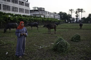 Nile Delta: A girl watches over water buffalo grazing in a field worked by her family
