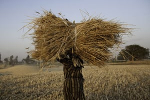 Nile Delta: A woman carries wheat to be threshed during an intensive harvest