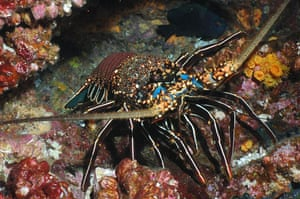 Galapagos coral reef: Wolfspinylobster, spiny lobster on Wolf Island Galapagos coral reef Ecuador