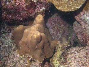Galapagos coral reef: Gardineroseris planulata Coral, Galapagos coral reef Ecuador