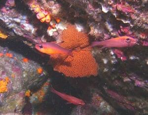 Galapagos coral reef: Pacifigorgia, Galapagos coral reefs in Ecuador