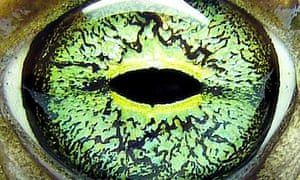 Eye of a European green toad, Bufo viridis