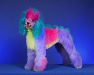 Poodles: Poodle groomed as a Dragon