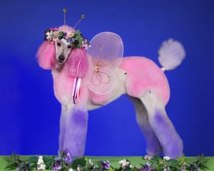 Poodles: Poodle groomed as a Fairy