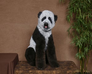 Poodles: Poodle groomed as a Panda
