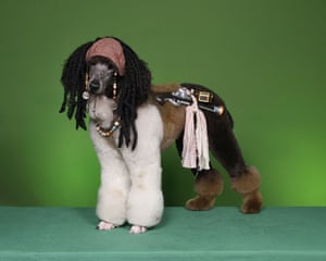 Poodles: Poodle groomed as Jack Sparrow