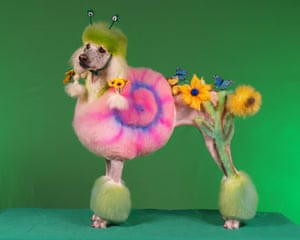 "Poodles: Poodle ""Cindy"" groomed as a Snail"