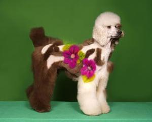 Poodles: Poodle groomed with Flower design