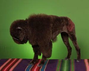 Poodles: Missy Gullett dressed as a buffalo