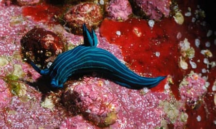 Coral discovered in Galapagos: A nudibranch rests against brightly coloured coral at the Wolf Island