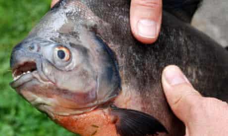 Piranha found in Devon river