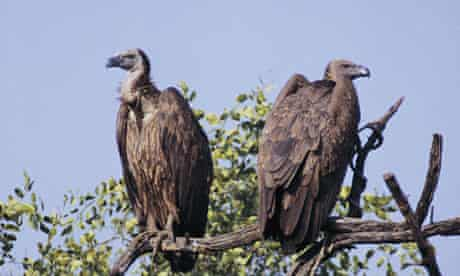 White-rumped vultures