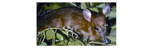The Eastern Himalayas: New species discovered by WWF: Leaf deer